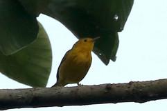 Yellow Warbler (migrant).jpg