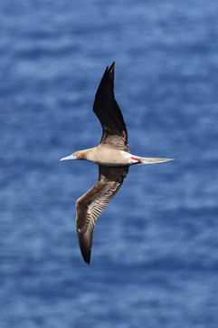 Red-Footed Booby -white-tailed Brown mor