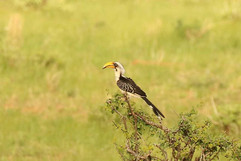 Eastern Yellow-billed Hornbill (f).jpg