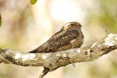 Lesser Nighthawk (m).jpg