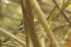 Olive Sparrow .jpg