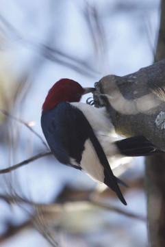 Red Headed Woodpecker.jpg