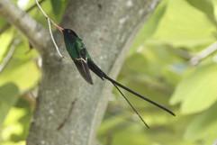 Red Billed Streamer tail (Doctor Bird).j