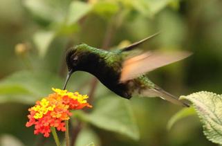 Black-Bellied Hummingbird E.jpg