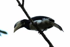 Malbar Pied Hornbill (imm).jpg