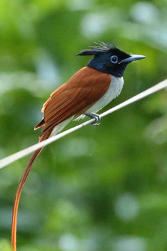 Asian Paradise Flycatcher rufous (f).jpg