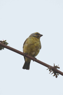 Yellow fronted canary.jpg