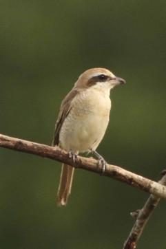 Brown Shrike - 1st winter.jpg