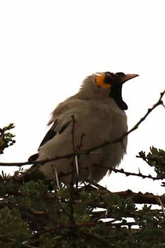 Wattled Starling.jpg