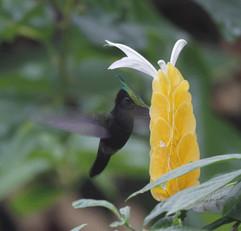 Antillean Crested Hummingbird.jpg