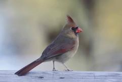 Cardinal f.jpg