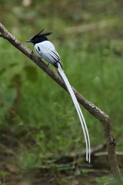 Asian Paradise Flycatcher White (f).jpg
