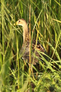 Watercock.jpg