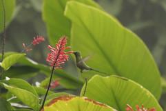 Jamacian Streamertail Hummingbird.jpg