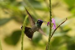 Violet-headed Hummingbird.jpg