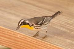 Yellow throated Warbler .jpg