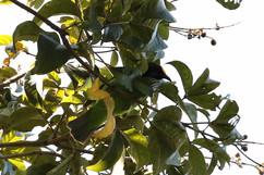 Golden Fronted Leafbird (f).jpg