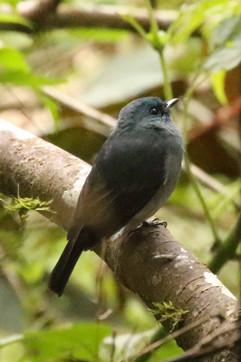 Dull-Blue Flycatcher E.jpg