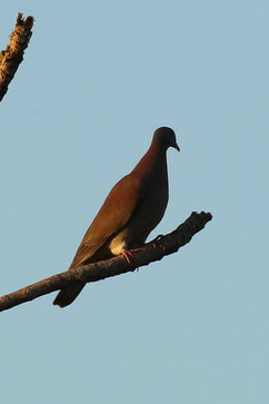Pale Vented Pigeon .jpg