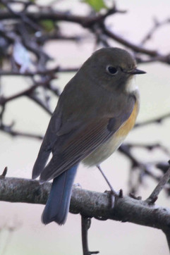 Red Flanked Bluetail.jpg