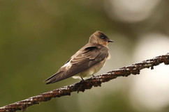 Northern Rough-winged Swallow.jpg
