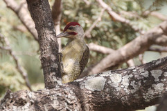 Fine spotted Woodpecker.jpg