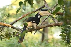 Malbar Pied Hornbill.jpg