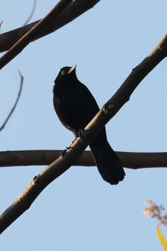 Melodious Blackbird.jpg