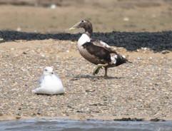 Eider Duck (f).jpg
