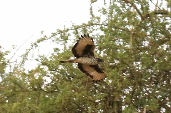 African Hawk-Eagle.jpg