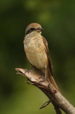 Brown Shrike.jpg