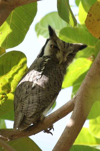 African scops owl.jpg