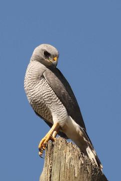 Gray Hawk .jpg