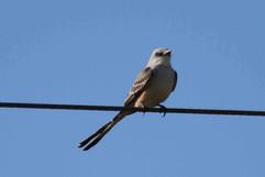 Scissor-tailed Flycatcher.jpg