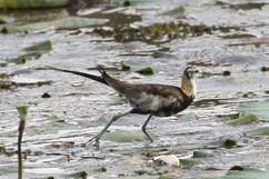 Pheasant-tailed Jacana-br.jpg