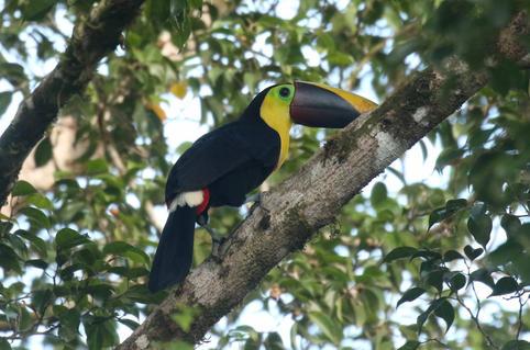 Black-mandibiled Toucan.jpg