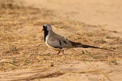 Namaqua Dove.jpg