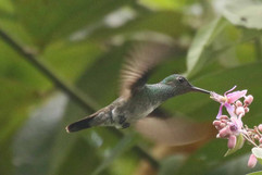 Mangrove Hummingbird E.jpg