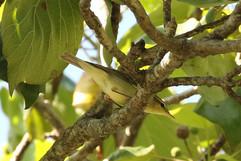 Large-billed Leaf Warbler.jpg