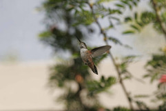 Calliope Hummingbird.jpg