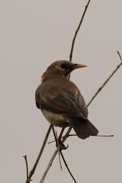 Wattled Starling (f).jpg