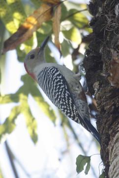 Red Bellied Woodpecker (f).jpg