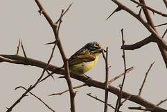 Yellow fronted tinkerbird.jpg