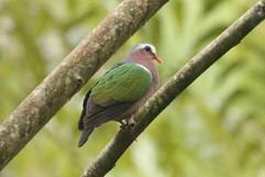 Emerald Dove (f).jpg