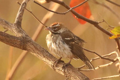 Chestnut crowned sparrow weaver.jpg