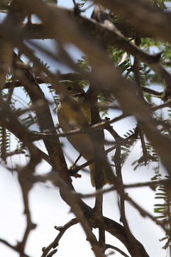Yellow Northern Warbler.jpg