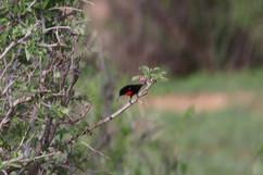 Hunter's Sunbird.jpg