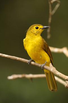 Yellow-browed Bulbul.jpg