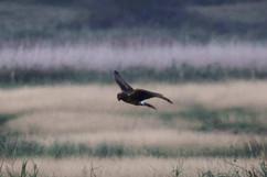 Hen Harrier (juv).jpg