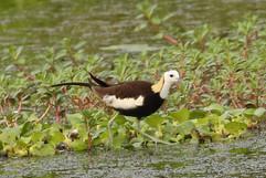 Pheasant-tailed Jacana- non br.jpg